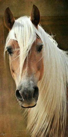 tickled-fancy - Halflinger Horses Are Amazing All The Pretty Horses, Beautiful Horses, Animals Beautiful, Beautiful Farm, Farm Animals, Animals And Pets, Cute Animals, Strange Animals, Horse Photos