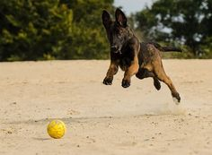 Belgian Malinois- Th