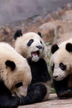 Panda cubs at feeding time Panda Love, Love Bear, Cute Panda, Panda Panda, Animals And Pets, Baby Animals, Funny Animals, Cute Animals, Save The Pandas
