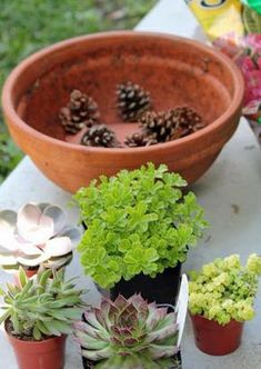 Use pinecones in the bottom of a pot - makes them much lighter, better draining! - glad to hear you can use pinecones! I'm trying, I have oodles of pinecones! -jm Better than plastic bottles! Succulents In Containers, Planting Succulents, Garden Plants, Indoor Plants, Planting Flowers, Container Flowers, Container Plants, Potted Plants, Succulent Gardening