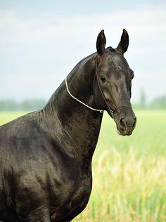 #horse #akhal #teke #dallas