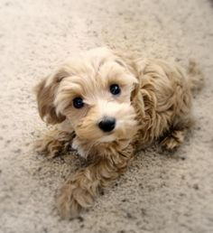 Cute Puppy is an understatement... this is the cutest puppy ever! Rare but perfect mix. Maltese/ Malti tzu