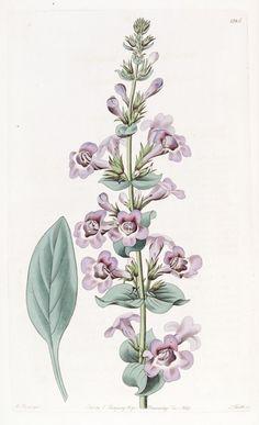 Pen(t)stemon acuminatum ~ by John Lindley