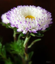 Aster aster- according to the victorians, the aster is the symbol of love