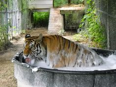 Tigers getting bubble baths!! - St. Augustine Wild Reserve Photos