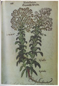 the woad plant
