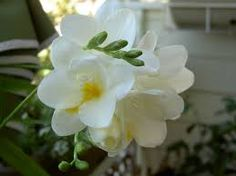 Image result for white freesias