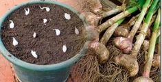 No More Garlic Rich in Pesticides and Heavy Metals, Grow Organic Garlic at Your Home - Crazy Fitness Tips Organic Garlic, Grow Organic, Comment Planter, Aromatic Herbs, Fruits And Vegetables, Organic Recipes, Indoor Garden, Vegetable Garden, Gardening Tips