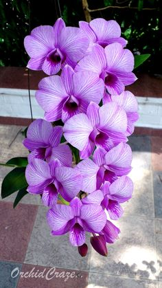 Dendrobium Burana CANDY STRIPE | OrchidCraze: FOMOS Monthly Orchid Show 2012