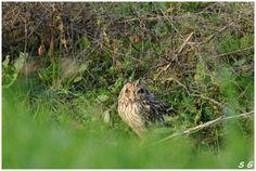 Hibou des marais  (Asio flammeux)  (Short-eared Owl) en vendée