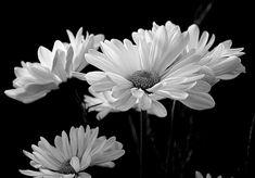 Poster & Download: Flora Daisy Daisies Blume Weiß Frühling blühen Kategorien: landschaften, flora, daisy, daisies, flower, white, spring, bloom, blossom, petals, bouquet, natural, springtime, plant, black, and, photography