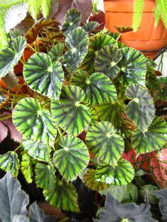 Begonia mazae f. nigricans  This is a lush plant (above), spreading in a neat sphere as far as it could go.