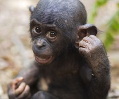 Bonobo male baby 'Bomango' aged 10 months, puts his fists up at the Lola Ya Bonobo Sanctuary, Democratic Republic of Congo