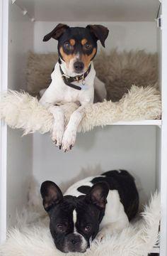 Anton (French bulldog) and Futte (Danish/Swedish farmdog), who live in Denmark.