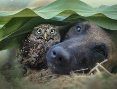 Удивительная дружба бельгийской овчарки и совенка