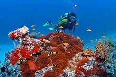 Diver swimms above a Bulb-tentacle Sea Anemone (Entacmaea quadricolor)