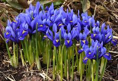 HOW TO GROW IRIS BULBS |The Garden of Eaden