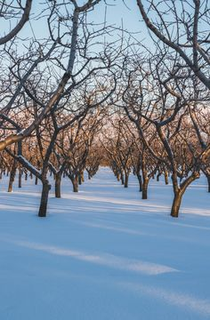 These little guys, like most of us Canadians, are just trying to survive another winter in the hopes of growing delicious treats for everyone to enjoy. The perfection of orchard tree planting is astounding. Hundreds of cherry trees, row after row, making beautiful natural hallways through the fields.