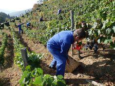 La vendimia en Cangas del Narcea, octubre 2012