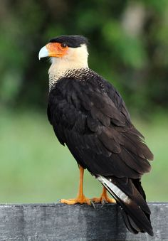 Southern Crested Caracara (Caracara plancus), also known as the Southern Caracara or Carancho, is a bird of prey in the family Falconidae. As the name is presently defined, the range of the Southern Caracara is restricted to central and southern South America.