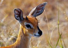 Steenbok by Arno & Louise Wildlife, via Flickr