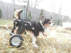 This Chihuahua's name is Parcheesi Powers and is stylin' and profilin' in his rear support dog wheelchair from Ruff Rollin'. What a cutie!