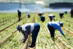 Field workers weeding by hand in the San Joaquin Valley in California... Women my respect