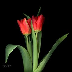A DUET…TULIPS by Magda Indigo on 500px
