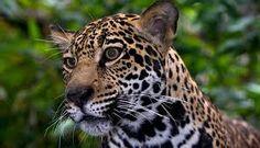 Afbeeldingsresultaat voor jaguar