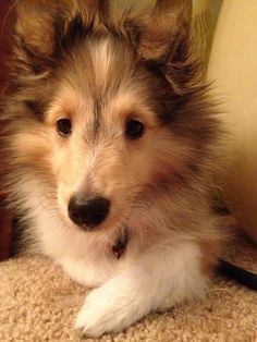 Annabelle eight weeks old. She is from Tierra shelties.