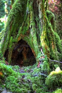 Great Bear Rain Forest, British Columbia Oh when I was living in my jetta, rainy, inside of car looked like this tree! Beautiful World, Beautiful Places, Unique Trees, Tree Forest, Forest Rain, All Nature, Jolie Photo, Belleza Natural, Rocky Mountains