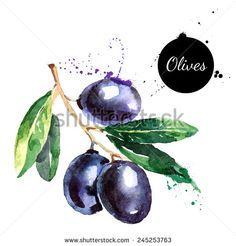 Hand drawn watercolor painting on white background. Vector illustration of fruit olives