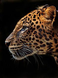 Panthera Pardus by Irawan Subingar - Photo 1160777 / 500px
