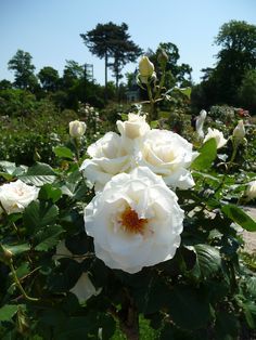 Rose 'Margaret Merril', roseraie au printemps, parc de Bagatelle, Bois de Boulogne, Paris 16e (75)