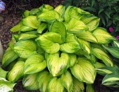 HOSTA: It is difficult to find a garden that is without this versatile East Asian native. Lush foliage in diverse colors, heights and textures, coupled with its ability to excel in deep shade have cap