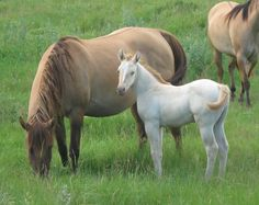 Red dun Quarter Horse mare with her amber cream champagne foal (Mitzel/Strobel Champagne Horses)