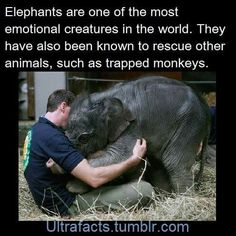 Adding more elephant facts to the compilation! Sources: I love elephants so much As if I needed more reasons to love elephants elephants have my heart The Animals, Cute Little Animals, Cute Funny Animals, Funny Cute, Clever Animals, Elephant Facts, Elephant Love, Baby Elephants, Facts About Elephants