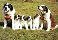 Bernard Dog (Switzerland) ~ Here is a family of St. Bernards ~ So cute! We have this picture in our house. Free Puppies, Puppies And Kitties, Doggies, Big Dogs, I Love Dogs, Cute Dogs, St Bernard Puppy, Mountain Dogs, Fauna
