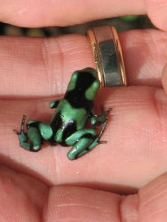 Green and Black Poison Dart Frog (Dendrobates auratus). This is a highly variable species over its range but just about all of them look like this as they come out of the water.