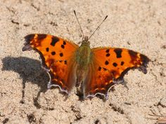 Eastern Comma (Polygonia comma) - butterfly