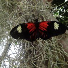 Piano keys butterfly. Picture taken by K.Poole in 2010 @ Butterfly World in Florida.
