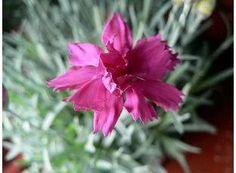 Rostlina | Hvozdík,Karafiát, Dianthus