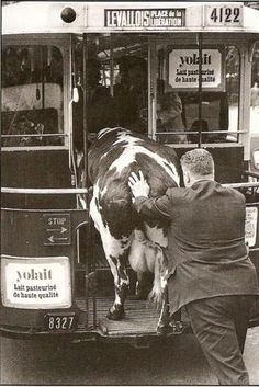 Cows on buses...?  Only in #France.  #Vintage travel alternatives.