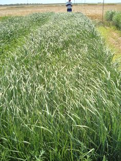 Evaluating Switchgrass variety trials in Albacete (Southern Spain). June 15th 2012