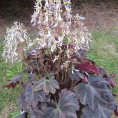 Saxifraga fortunei 'silver velvet' Shade Plants Container, Snow In Summer, Tree Fern, Big Leaves, Palmiers, Agapanthus, Welcome To The Jungle, Agaves, Trees And Shrubs