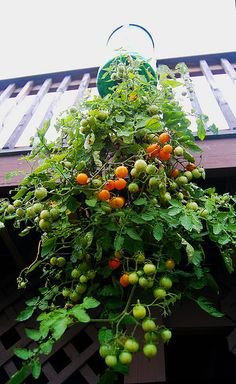 Upside down tomato planter. One of the fun ideas in the series  Gardening Ideas…