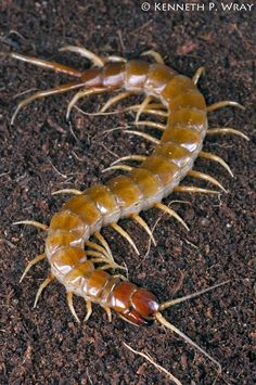 Scolopendra alternans (Haitian Giant Centipede) - Anita Smith Home The Giant Peach, Creatures Of The Night, Arte Horror, Bugs And Insects, Animal Projects, Ants, Pet Birds, Cool Pictures, Beautiful Pictures