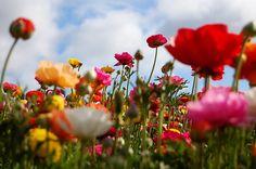 www.kellthecapturer.com/around-this-town-01/ #SanDiego #FlowerFields