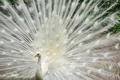A magic white peacock...