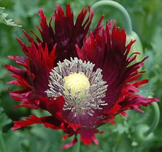 85 best flower names images on pinterest in 2018 beautiful flowers papaver drama queen what a pretty flower mightylinksfo